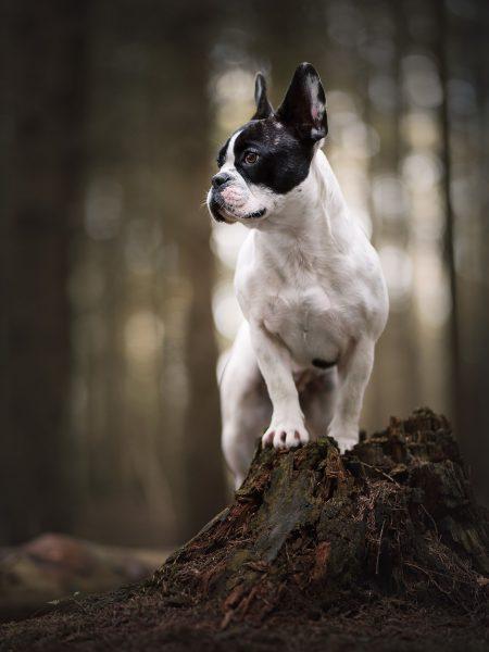 Franse Bulldog, portret van hond