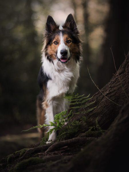 Border Collie, portret van hond