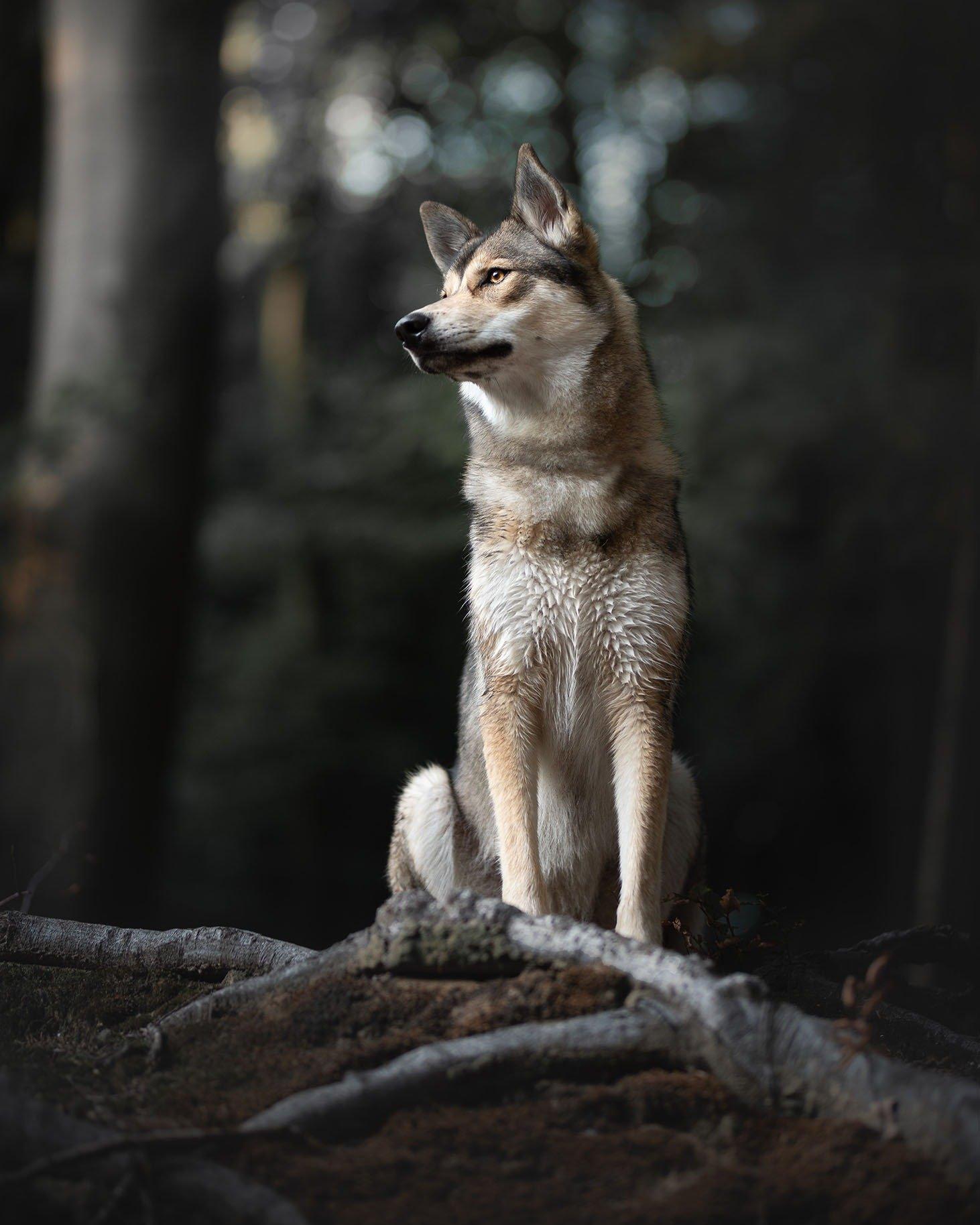 Tamaskan Wolfhond (Wolfdog)