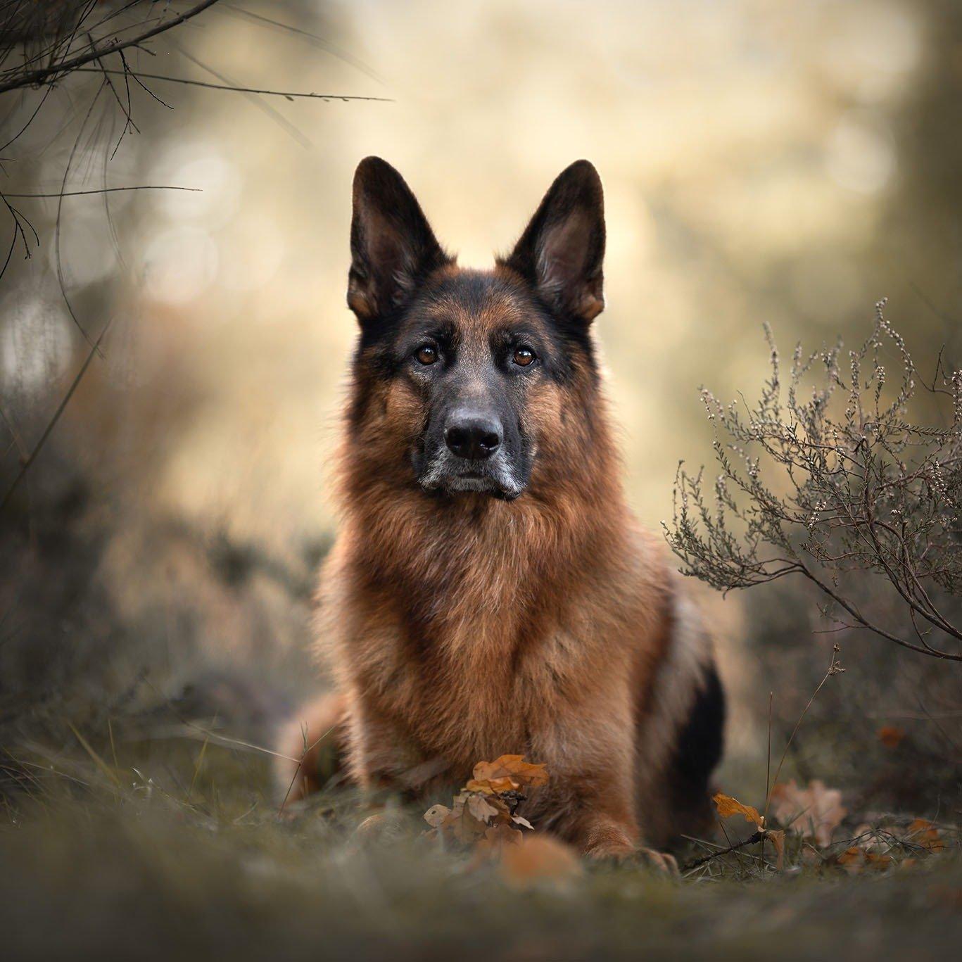 Duitse Herder (German Shepherd Dog)